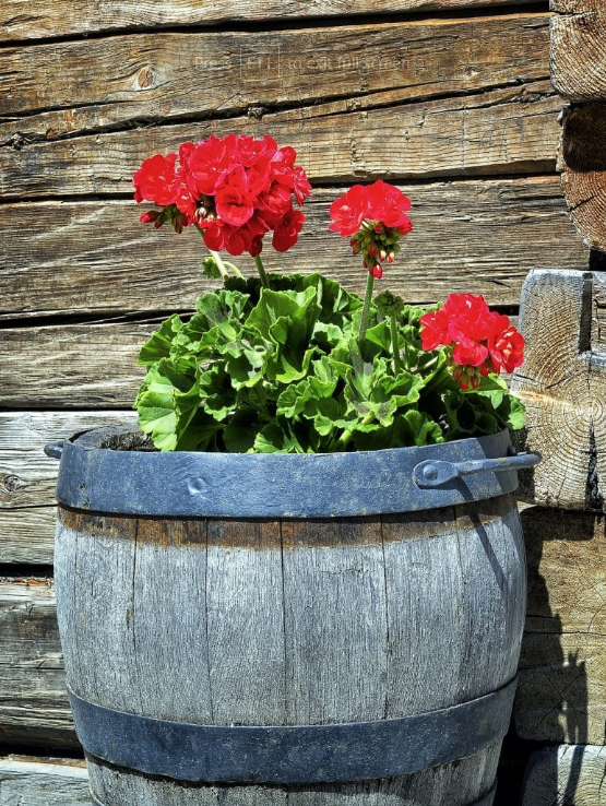 Barrel Planter Ideas